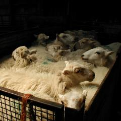 sheep awaiting shearing.jpg